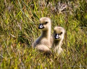 Goslings in Pebble Beach