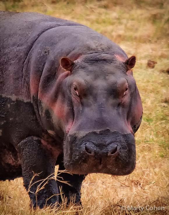 Hippo at Ngorongoro Crater