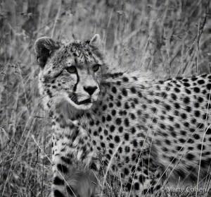 A Young Cheetah