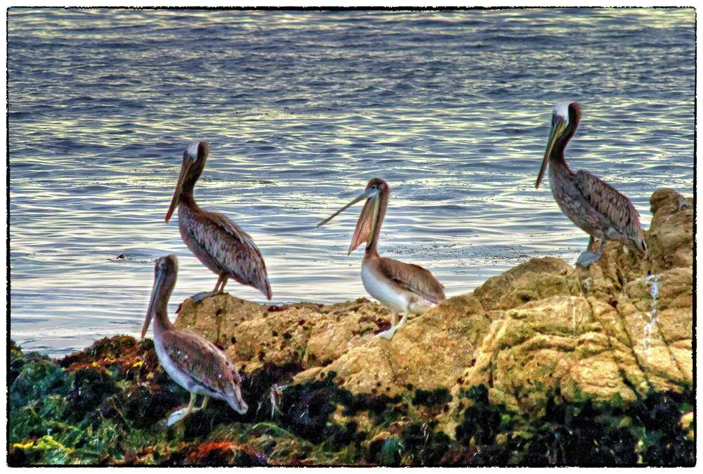 Four Pelicans