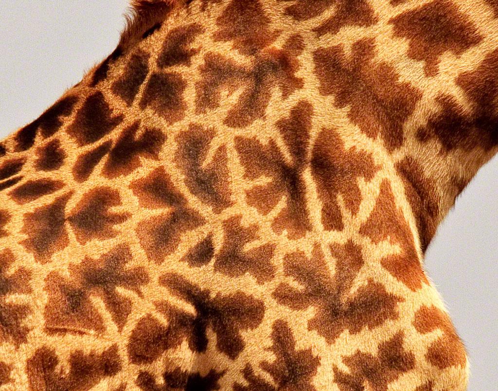 Masai Giraffe Pattern