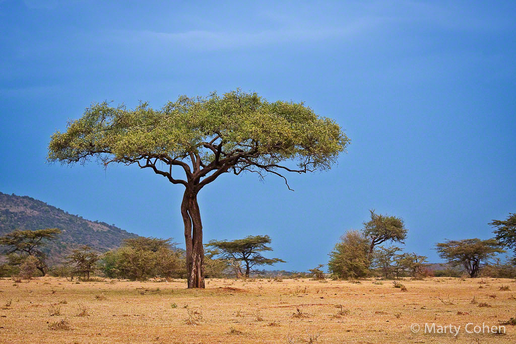 Masai Mara Acacia Tree
