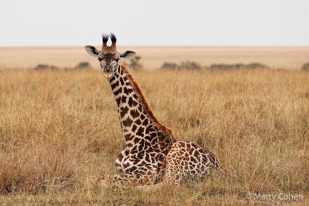 A Young Giraffe Sits