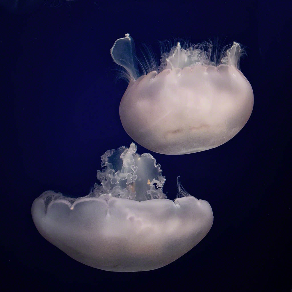 The Majesty of the Moon Jellyfish