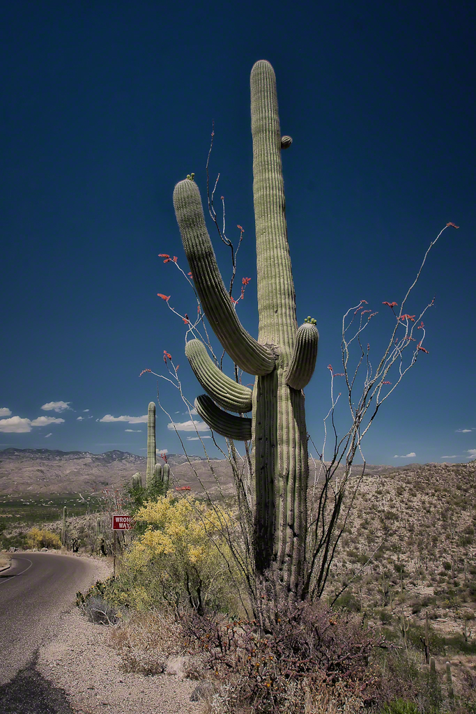 The Saguaro and the Ocotillo Cactus