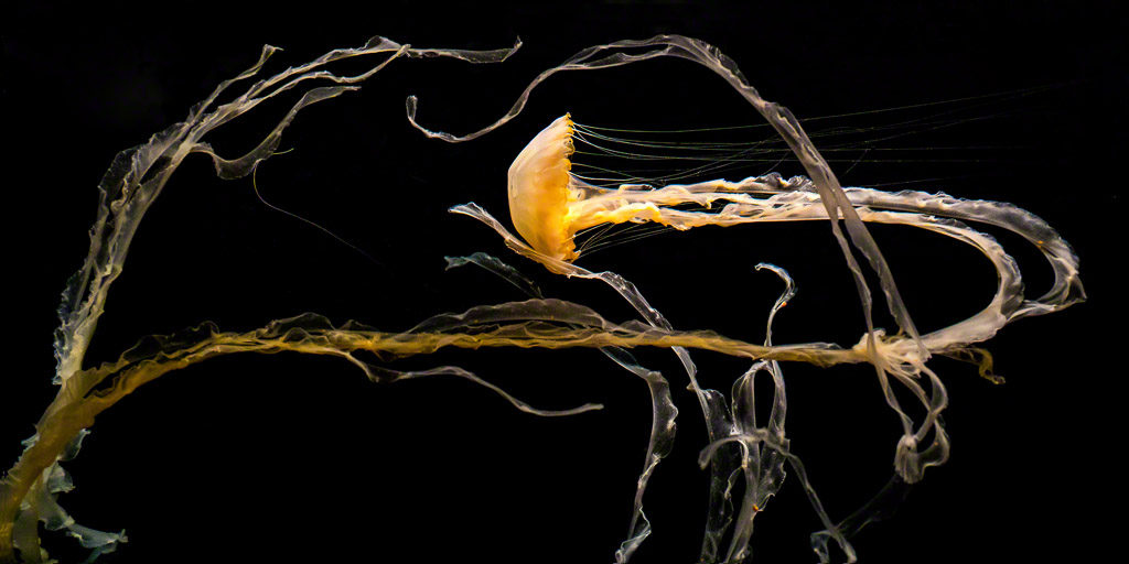 Dance of the Indonesian Sea Nettle