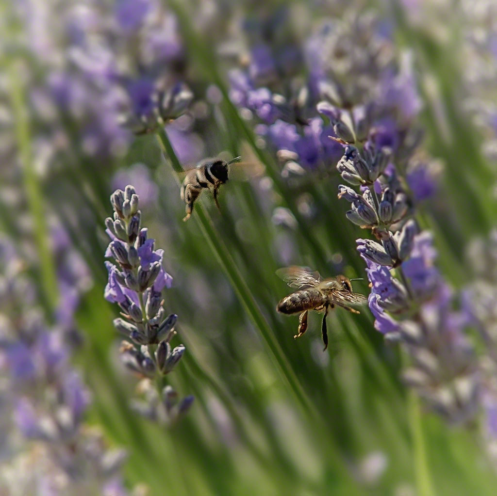 Bees and Lavender at Carmel Valley Ranch