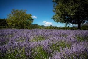 Lavender Hillside