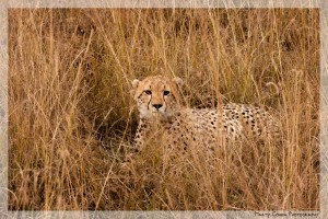 Hiding in the Savanna Grass