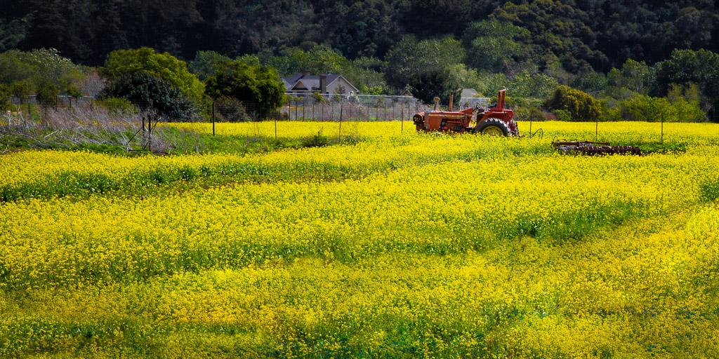 Mustard Field in Carmel Valley