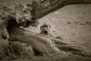 Screaming Baboon