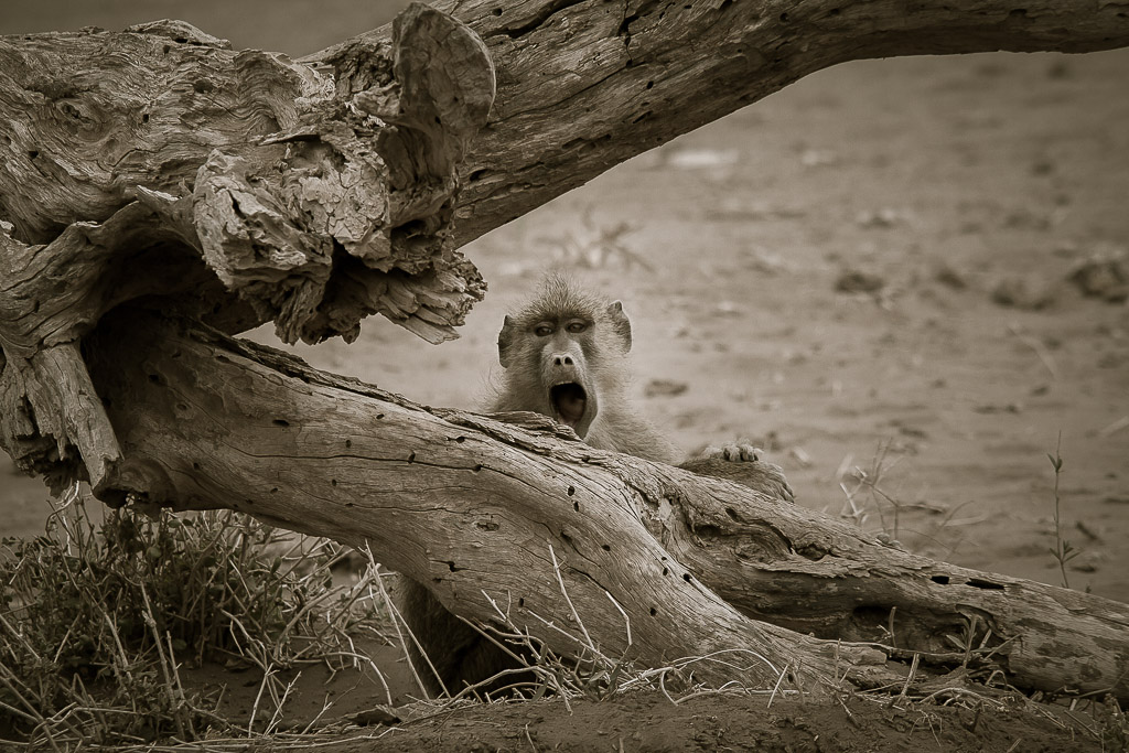 Screaming Baboon