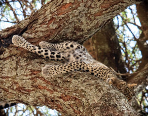 A Young Sleeping Leopard