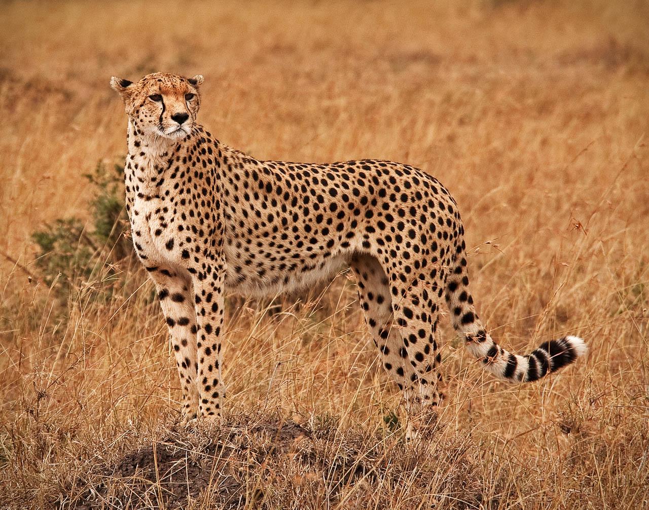 Cheetah on the savannah