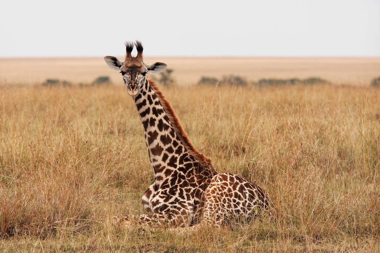 MM-32 A Young Giraffe