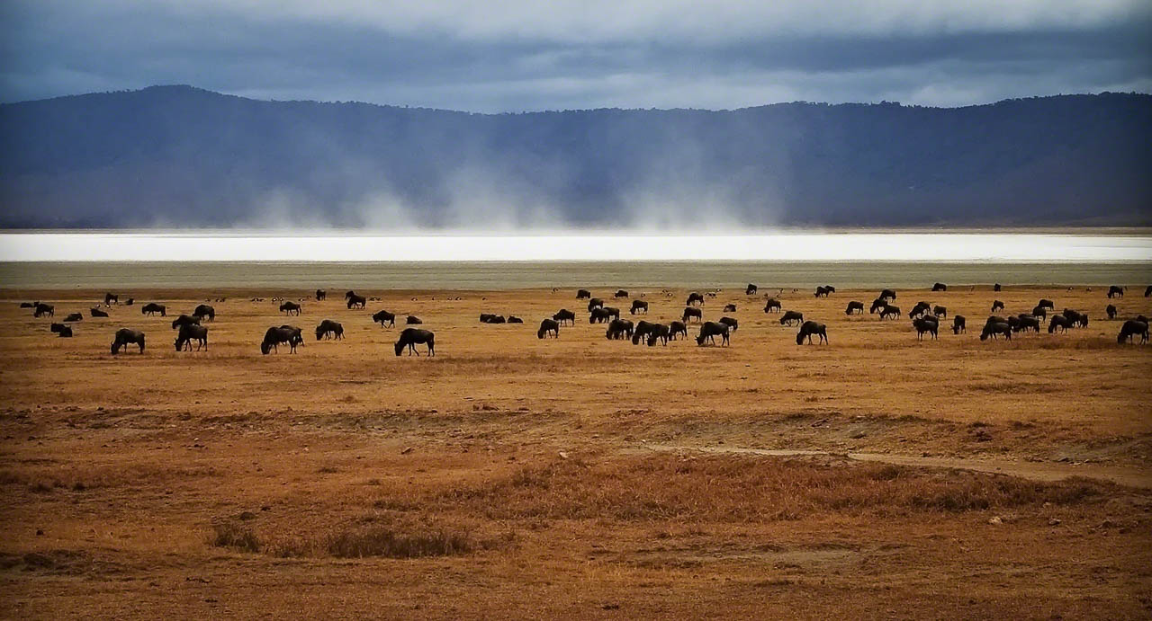Wildebeest Feeding at Ngorongoro Crater, Tanzania
