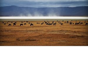 Wildebeest Feeding at Ngorongoro Crater, Tanzania